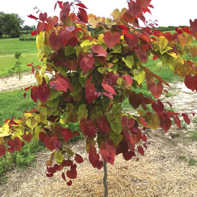Farwest Peoples Choice Flame Thrower Redbud