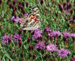 Vernonia Summer's Swan Song