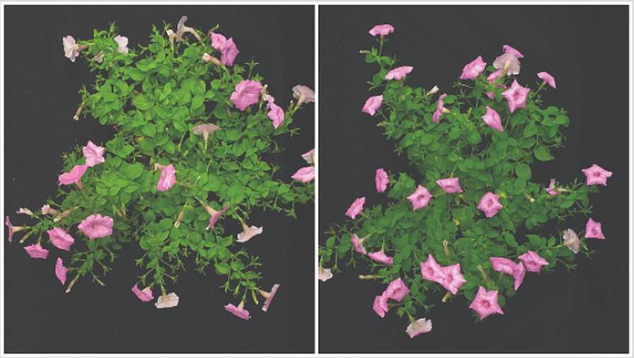 Irrigation interval comparison for petunia