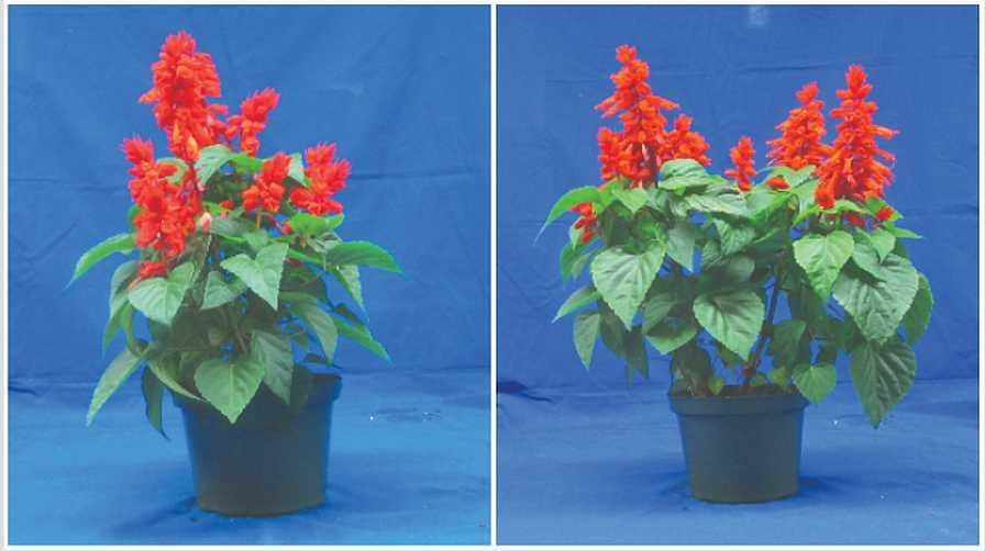 Irrigation interval comparison for salvia plants