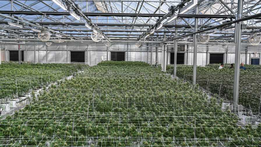Greenhouse Cannabis Lighting From Fluence Cannabis Regulators Association