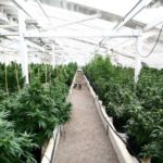 Greenhouse Hemp