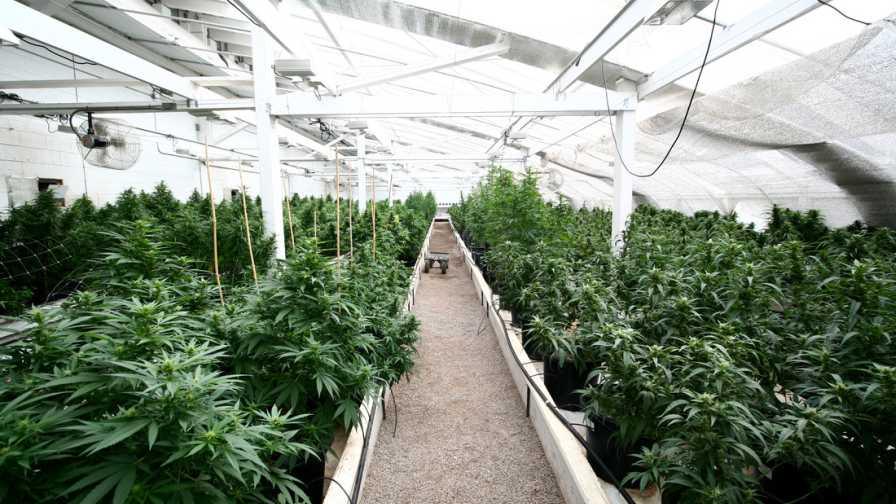 Greenhouse Hemp hemp plant growth