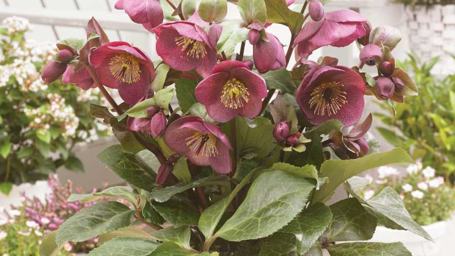 'Winter Angels Charmer' Hellbore potted plant