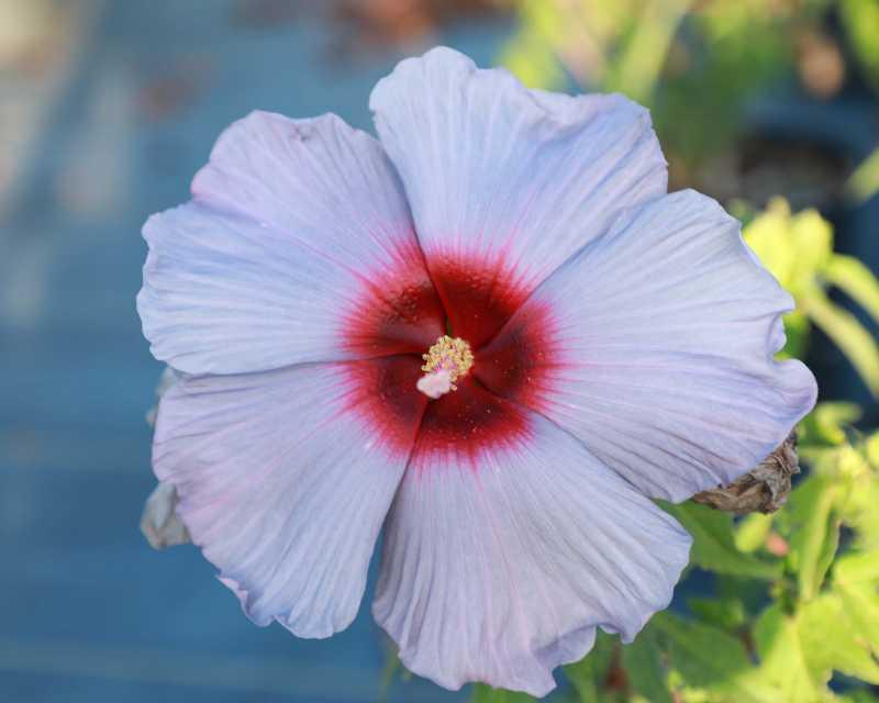 Hibiscus Summer Spice Bleu Brûlée (J. Berry Nursery)