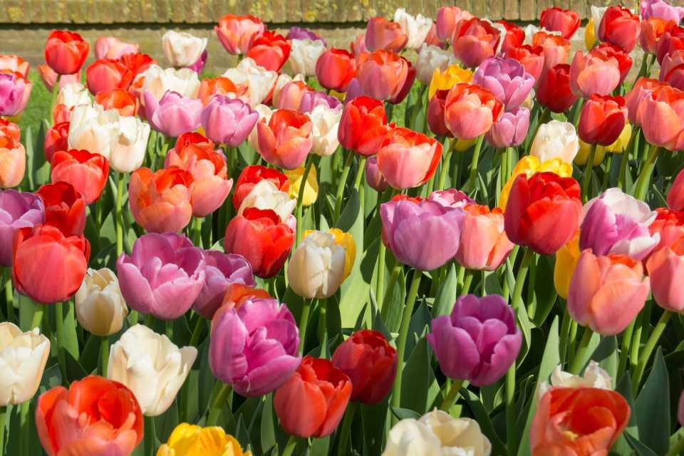 Tulip Pride Varieties (De Vroomen Garden Products) European Union