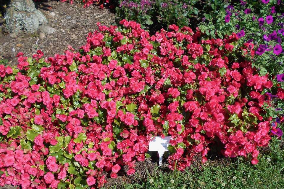 Begonia BK Collection BEEL 3632 (Beekenkamp)
