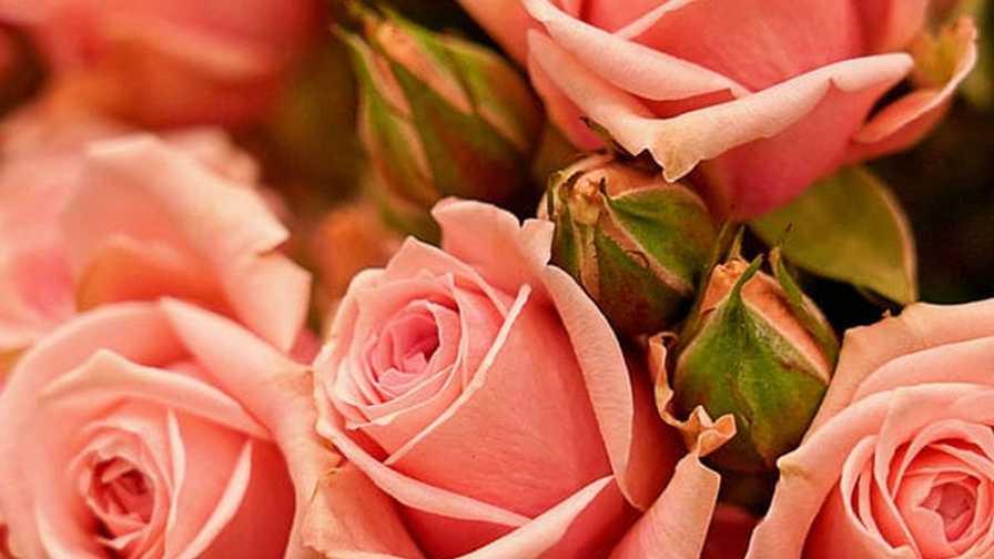 Spray Rose Sweet Sensation (RioRoses) Society of American Florists