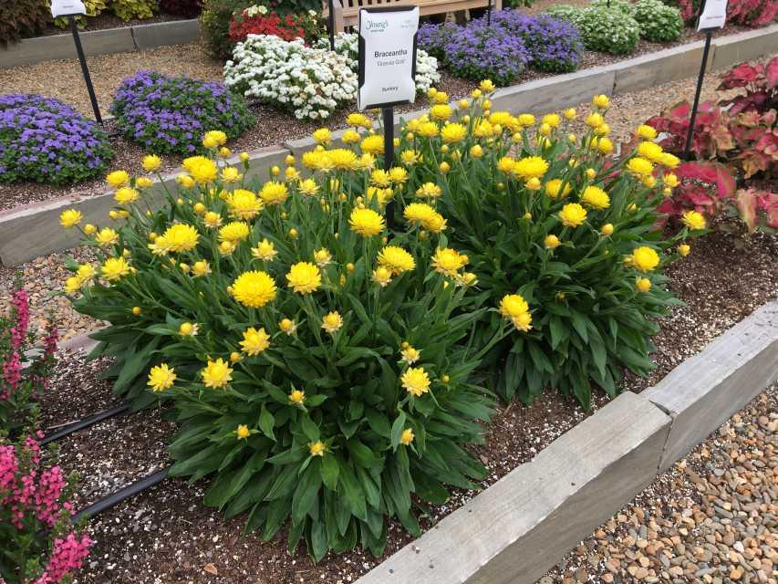 Braceantha Granvia Gold (Suntory Flowers)