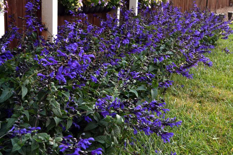 Salvia Rhythm and Blues (PlantHaven)