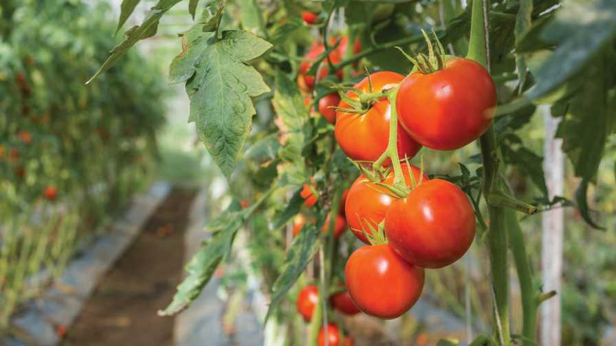 Choosing Tomato Varieties greenhouse tomatoes