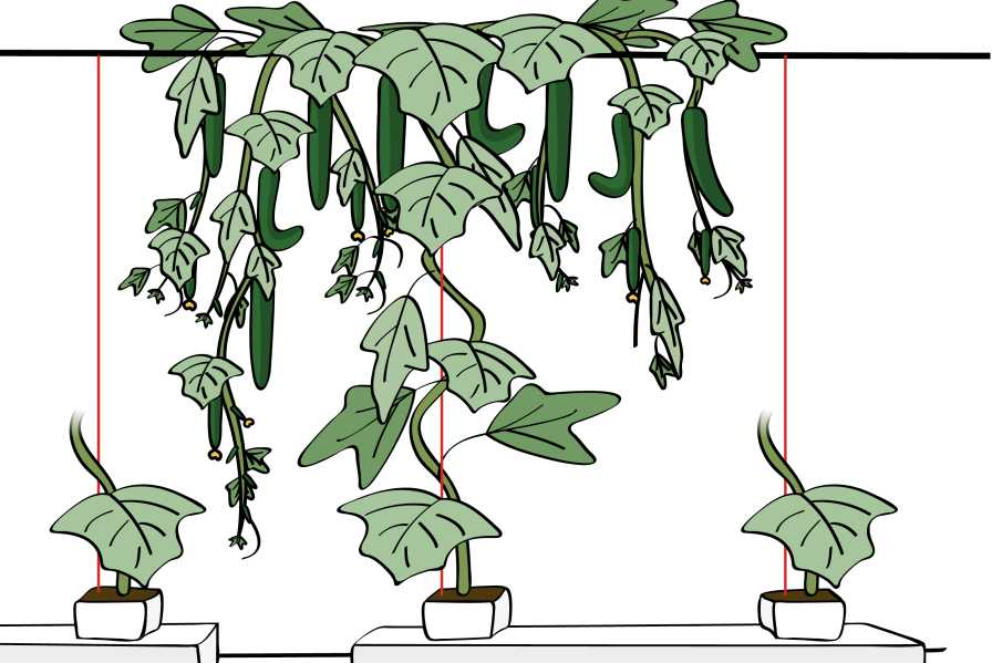 Illustration of Umbrella growing system for cucumbers