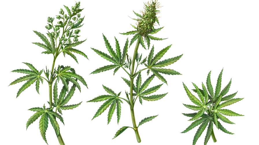 Pruning cannabis plants illustration