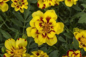 Tagetes/French Marigold Alumia Creme Brulee (Syngenta Flowers)