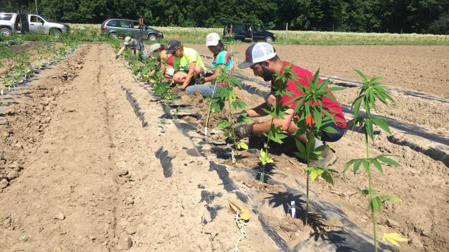 CBD hemp planting trial at Cornell