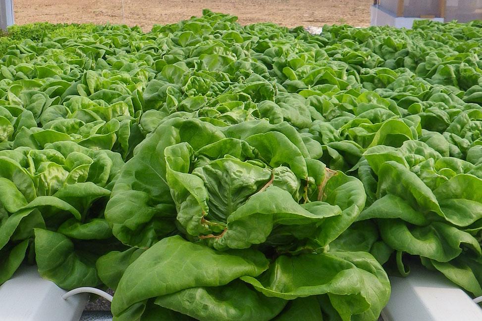 w_Tipburn-on-head-lettuce