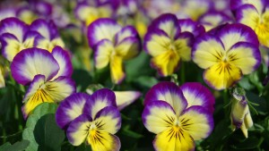 Greenhouse Production Tips For A Successful Spring Pansy Crop